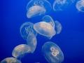 Sinh vật không mong muốn phổ biến trong ao tôm - Phần 1: Trứng nước - Sứa