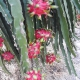 Quy trình bón phân  trên cây Thanh Long giai đoạn mùa mưa