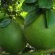 Cách làm bông bưởi đậu trái đều, không lệch tâm, lớn trái và thu hoạch đúng dịp Tết Nguyên Đán
