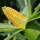 Biện pháp trừ sâu keo mùa thu hại bắp hiệu quả và tiết kiệm chi phí bằng thuốc trừ sâu sinh học Halt 5WP