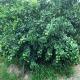 Bón phân cho cây chanh không hạt thế nào để đi trái chuyền và không bị thối rễ vàng lá