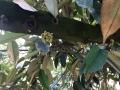 Xử lý ra hoa sầu riêng nghịch vụ