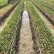 Chăm sóc gốc ghép vườn ươm giống cam sành như thế nào để cho tỷ lệ sống cao?