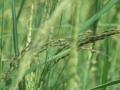 Giải pháp trừ lúa cỏ không bị vàng lúa