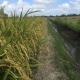 Hội thảo đầu bờ kỹ thuật ngâm- ngót giống lúa với sản phẩm phân bón hữu cơ sinh học Wokozim