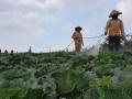 Quản lý sâu tơ, sâu xanh da láng trên bắp cải bằng thuốc trừ sâu sinh học HALT 5WP – hiệu quả vượt trội, nông sản an toàn