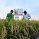 Quy trình canh tác lúa giống với phân bón hữu cơ sinh học Wokozim
