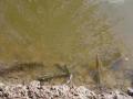 Các vấn đề thường gặp khi nuôi tôm trong mùa mưa