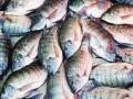 Cá rô phi đối mặt bệnh mới đặc biệt nguy hiểm