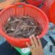 Ngành tôm xuất khẩu: Chủ động lợi thế ngay sau mùa dịch