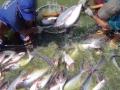 Giải pháp nuôi cá tra thịt trắng, chắc thịt và biện pháp khử kháng sinh tồn lưu trong cơ thịt cá