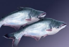 Tên tiếng anh một số loài cá - Phần 2