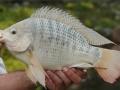 Bổ sung khoáng và chất kích thích miễn dịch trong nuôi cá