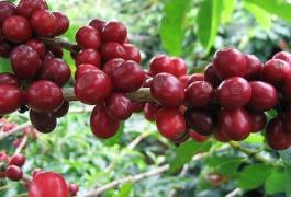 Phân bón hữu cơ sinh học Wokozim trên cây cà phê